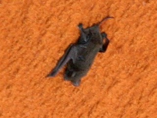 Did Bat Hitch a Ride to Space? | Astromart